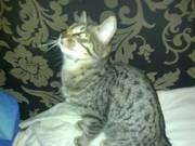 Bronze Egyptian Mau Kitten For Sale