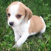 Beagle Puppies Ready For Good Homes