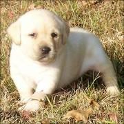 Beautiful Labrador Retriever Puppy For Good Homes